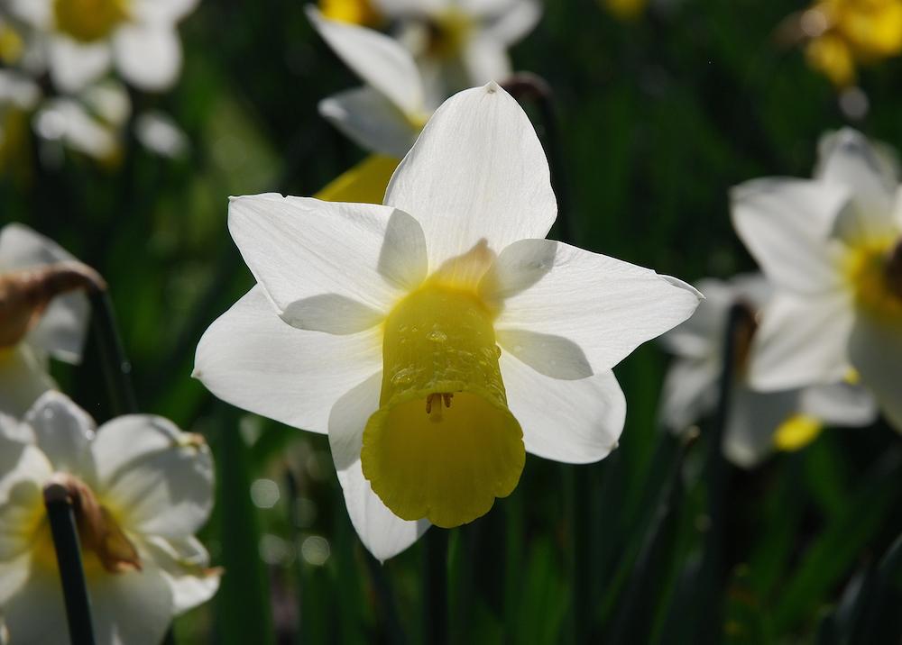spring daffodils (Margaret Stranks)
