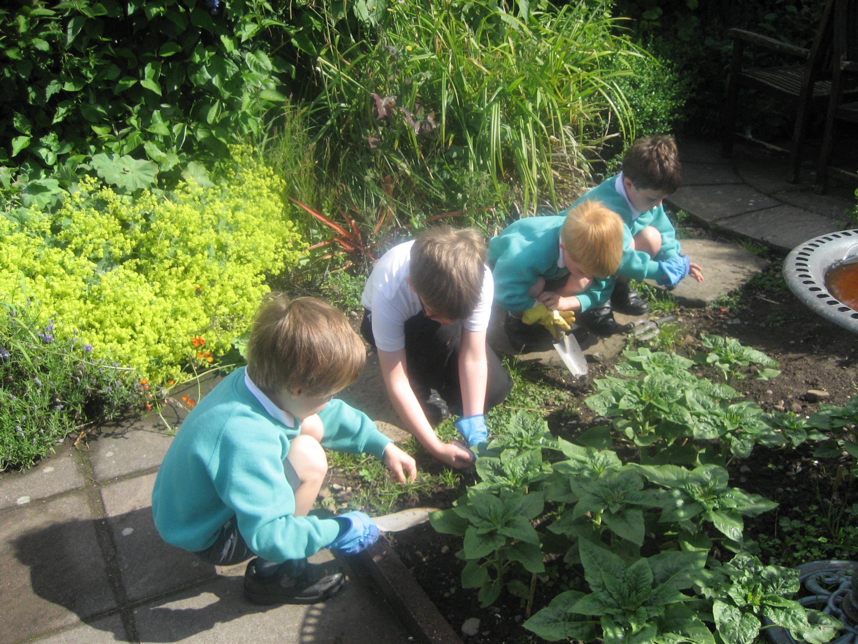 weeding the garden