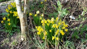 Late winter daffodils