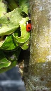 ladybird on pear leaf