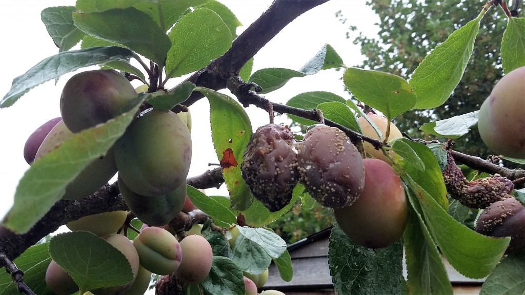 rotting-plums-august